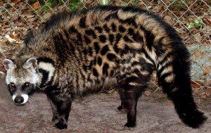 African Civet Images