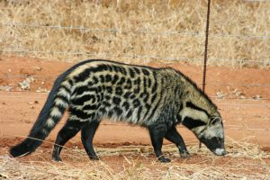 African Civet Pictures