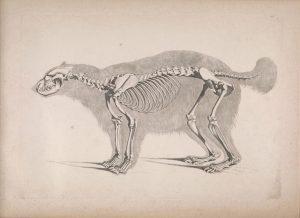 African Civet Skeleton