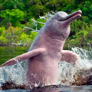 Amazon River Dolphin Images