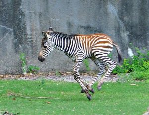 Baby Plains Zebra