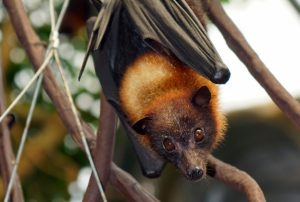 Giant Golden Crown Flying Fox