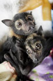 Giant Golden-Crowned Flying Fox Bat Facts, Habitat, Diet ...
