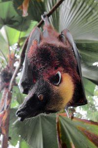 Giant Golden Crowned Flying Fox Bat