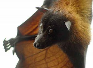 Giant Golden Crowned Flying Fox Bat Pictures