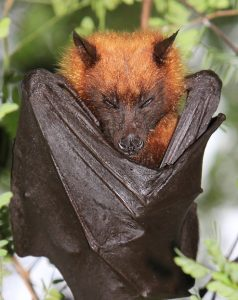 Giant Golden Crowned Flying Fox Images