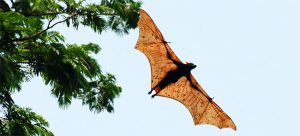 Giant Golden Crowned Flying Fox Pictures