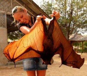 Giant Golden Crowned Flying Fox Size