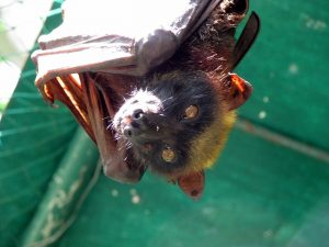 Pictures of Giant Golden Crowned Flying Fox