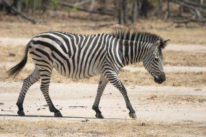 Plain Zebra Images