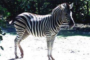 Plains Zebra Pictures