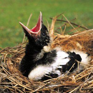 Australian Magpie Chicks