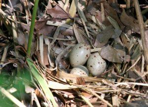 Australian Magpie Eggs