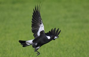 Australian Magpie Flying