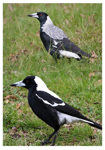 how to tell male and female magpies