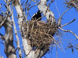 Australian Magpie Nest