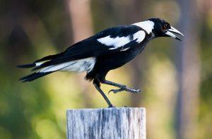 Australian Magpie Pictures