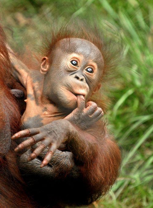 Bornean orangutans baby - photo#2