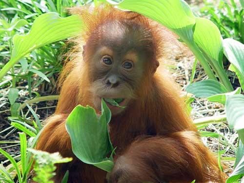 Bornean orangutans baby - photo#17