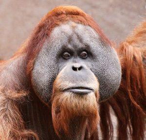 Bornean Orangutan Face