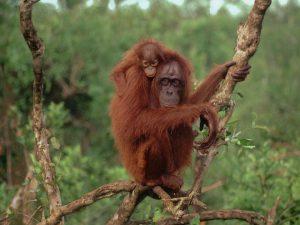 Bornean Orangutan Habitat