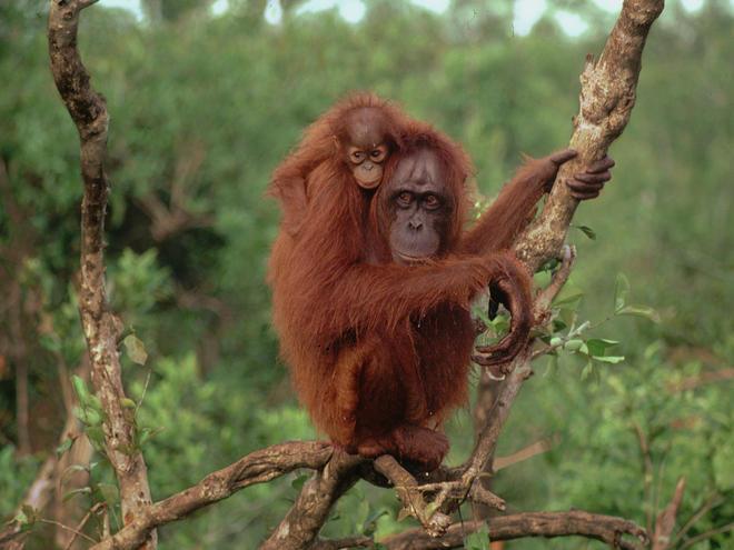 Orangutan Lifespan Bornean Orangutan Fact...