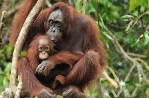 Bornean Orangutan Images