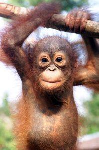 Cute Bornean Orangutan