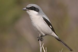 loggerhead shrike facts habitat diet life cycle baby