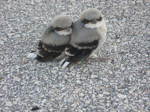 Loggerhead Shrike Babies