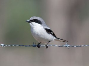Loggerhead Shrike Bird