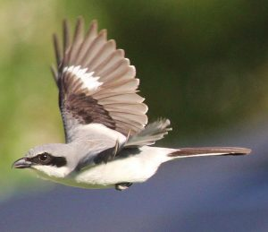Loggerhead Shrike Flying