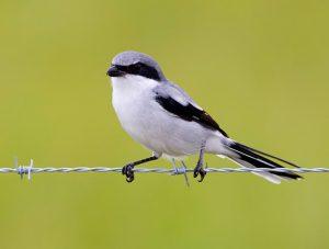 Loggerhead Shrike Images