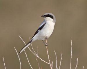 Loggerhead Shrike Photos