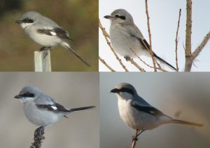 Loggerhead Shrike vs Northern Shrike