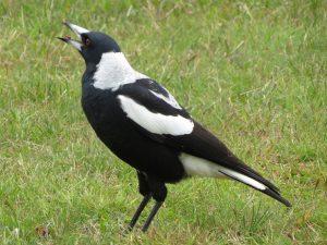 Magpie Australian