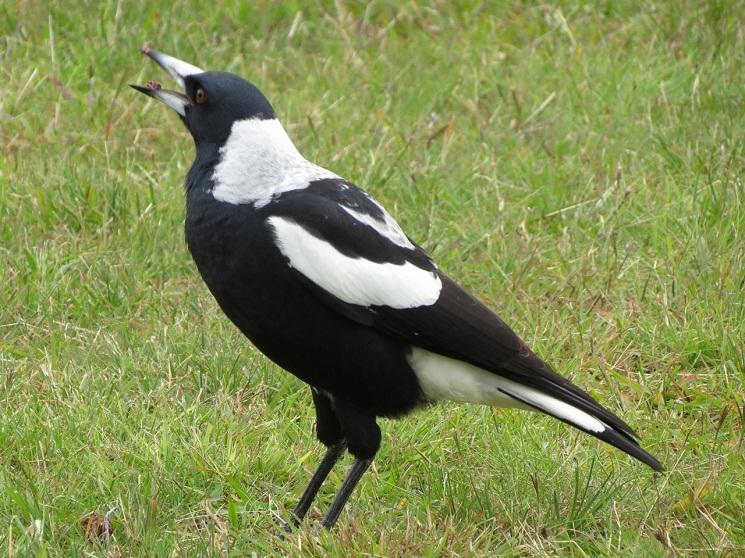 Sex life of a magpie bird