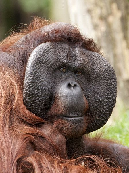 Bornean orangutans baby - photo#7