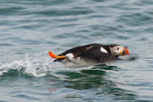 Atlantic Puffin Swimming