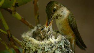 Rufous Hummingbird Baby
