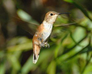 Rufous Hummingbird Immature