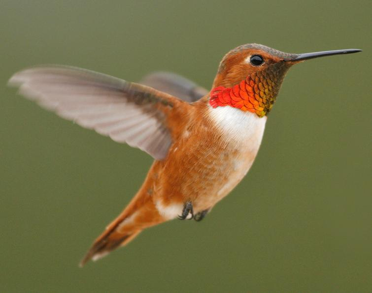 Rufous hummingbird drawing - photo#15