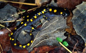 Spotted Salamander Images