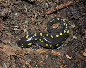 Yellow Spotted Salamander