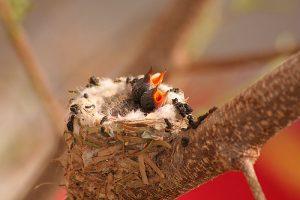 Baby Bee Hummingbird
