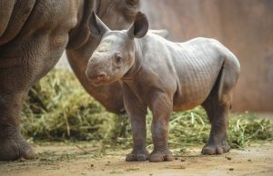 Baby Black Rhinoceros