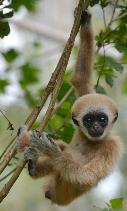 White Handed Gibbon Habitat, Facts, Behavior, Diet