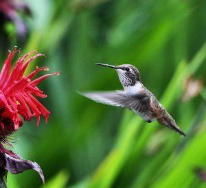 Bee Hummingbird Flying