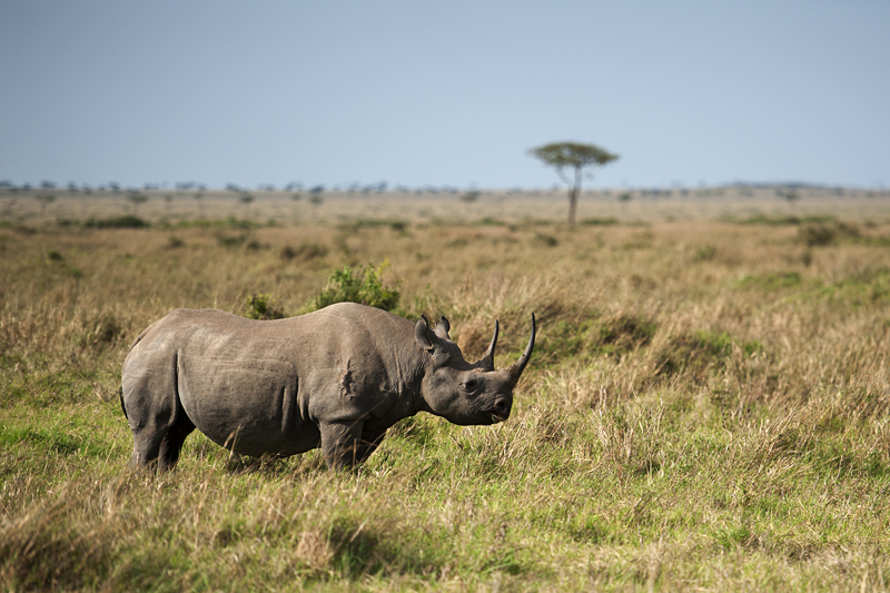 Black Rhino Facts, Habitat, Population in Wild, Conservation