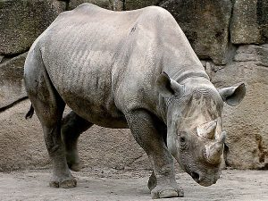 Black Rhinoceros Images